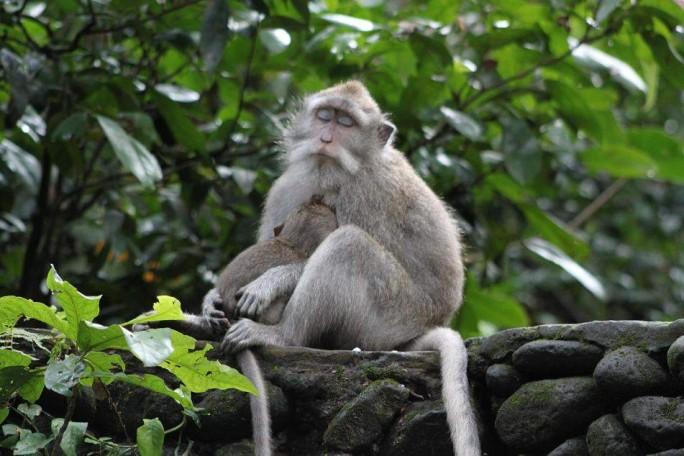 Monkeys of the Sacred Forest