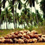 more coconuts in Mexico