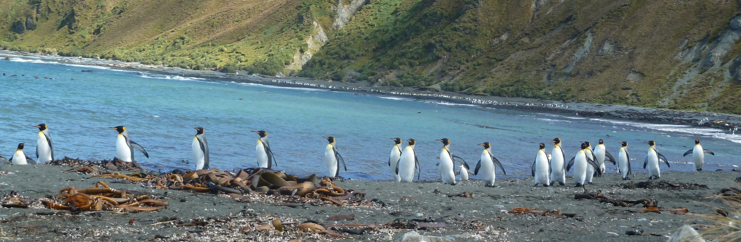 March of the Penguins, Macquarie Island