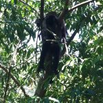 A monkey swung through the trees over my head