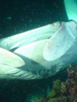 Manta-Ray-Night-Dive---Hula-Kai