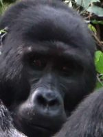 Mountain Gorilla in Bwindi, Uganda