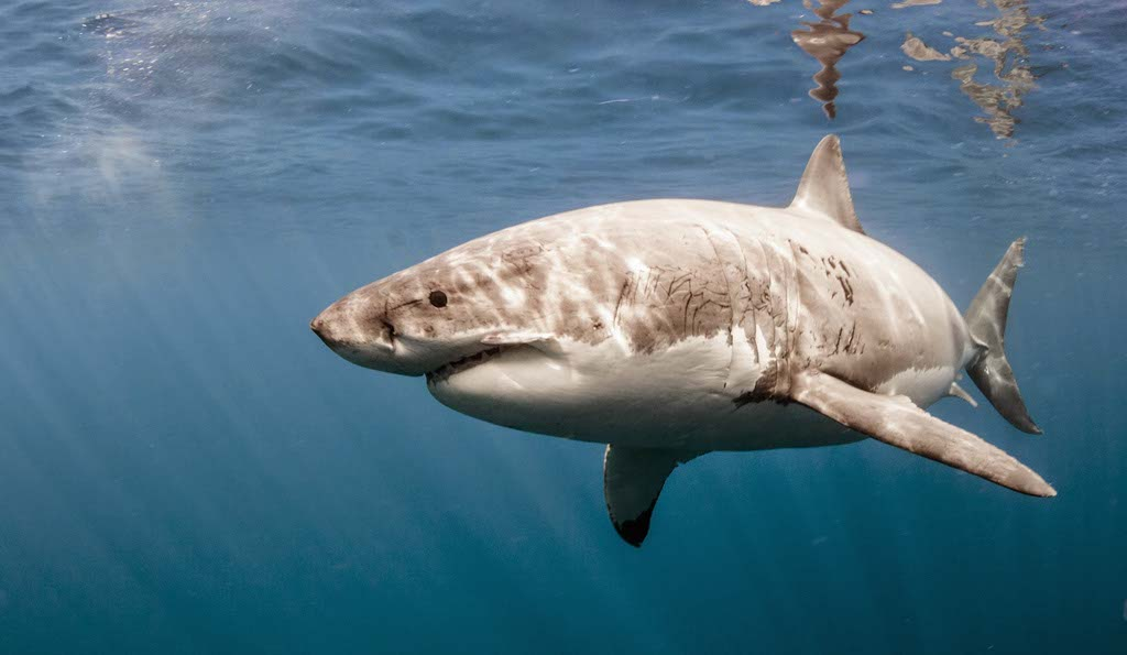 Great White Sharks - Islander Charters