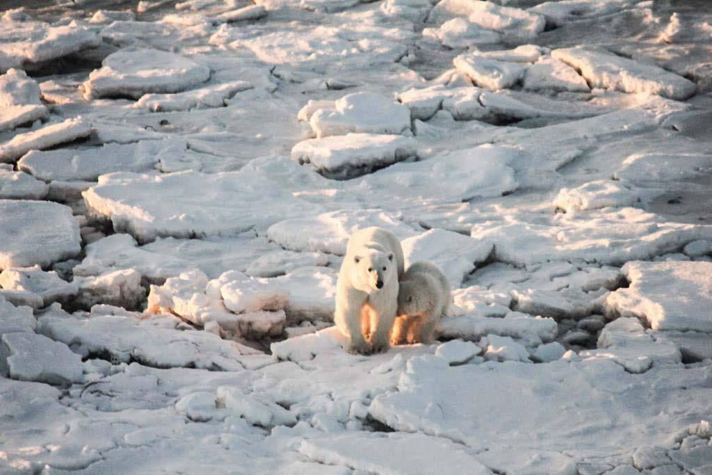 Mother and cub polar bears
