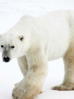 Polar bear viewing with Churchill Nature Tours