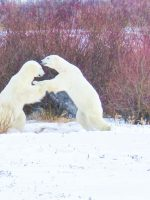 Two polar bears play fighting in Churchill, Manitoba