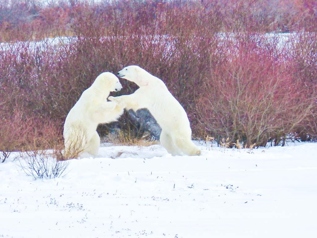 Two polar bears play fighting in Churchill, Manitoba