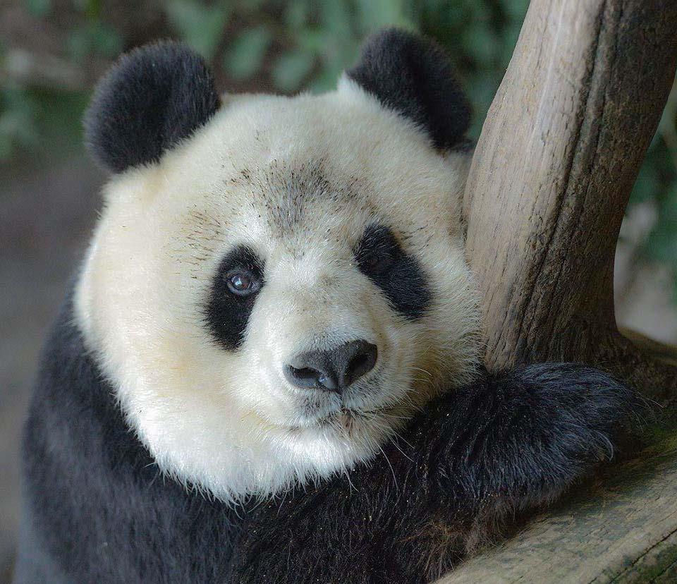 Panda at San Diego Zoo, California, USA