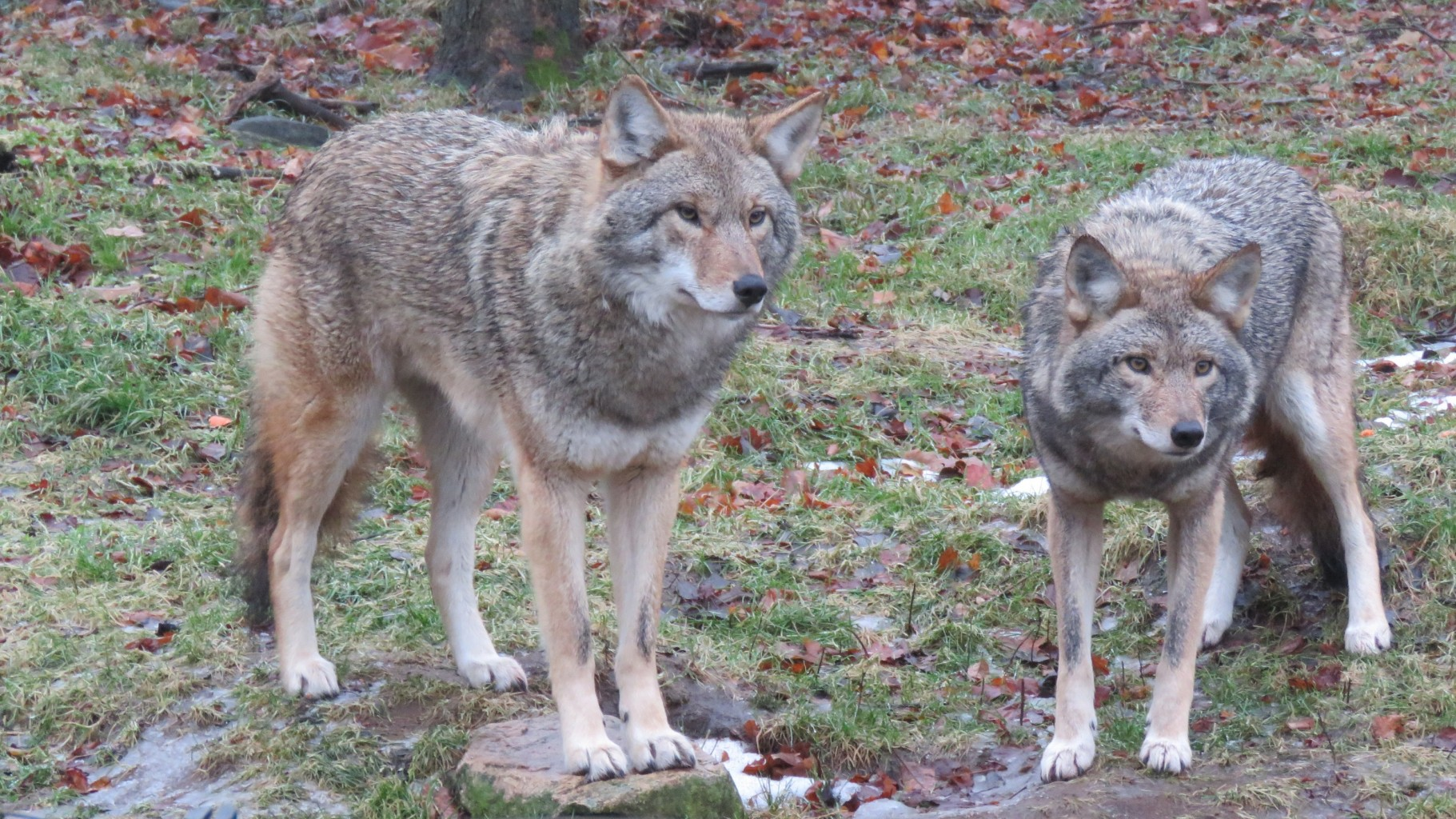 Grey Wolves at Parc Omega, Outaouais Bucket List