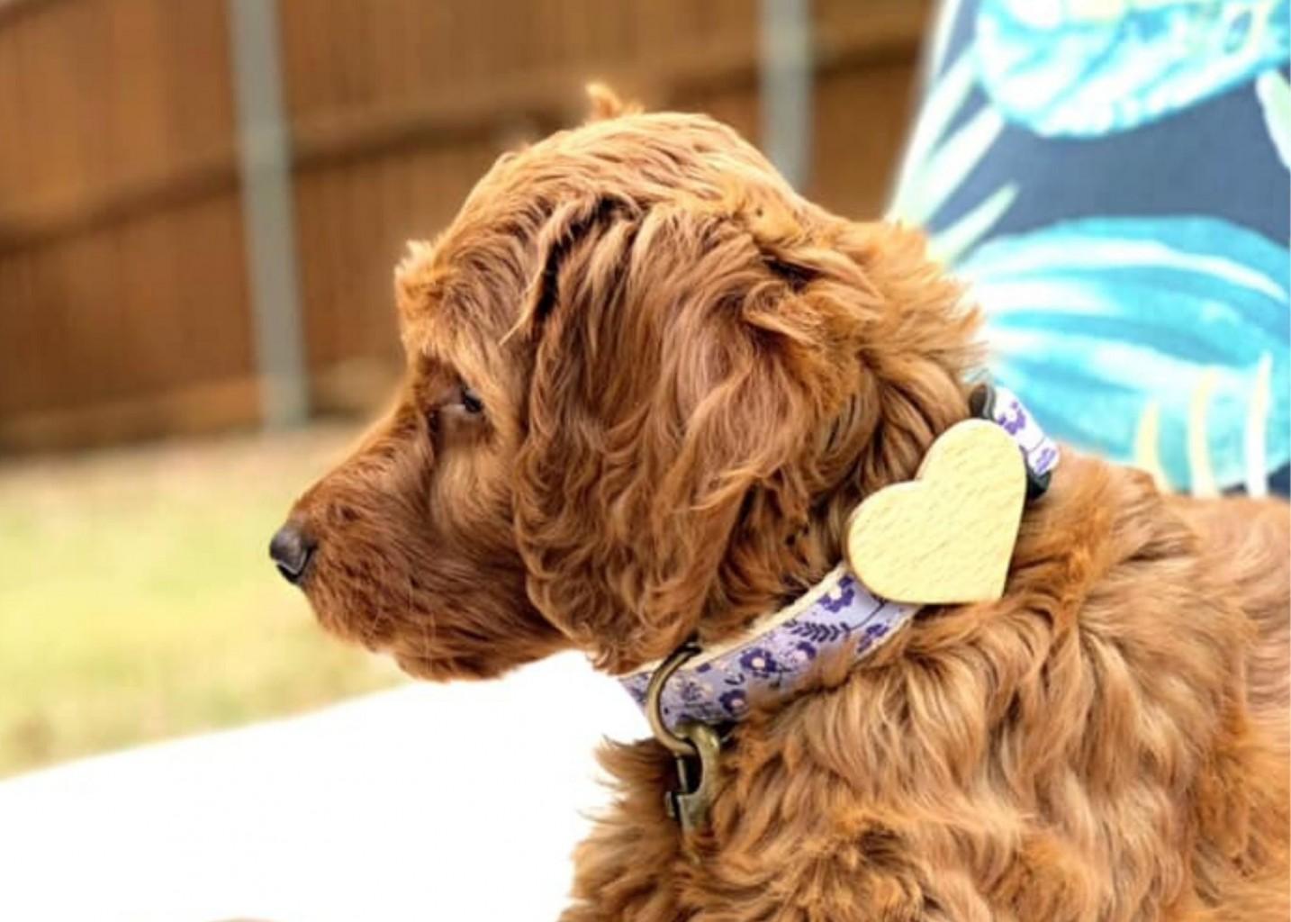Pettsie Purple dog collar